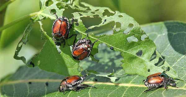 Japanese beetles removal Omaha